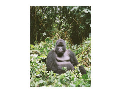 silverback, Virunga