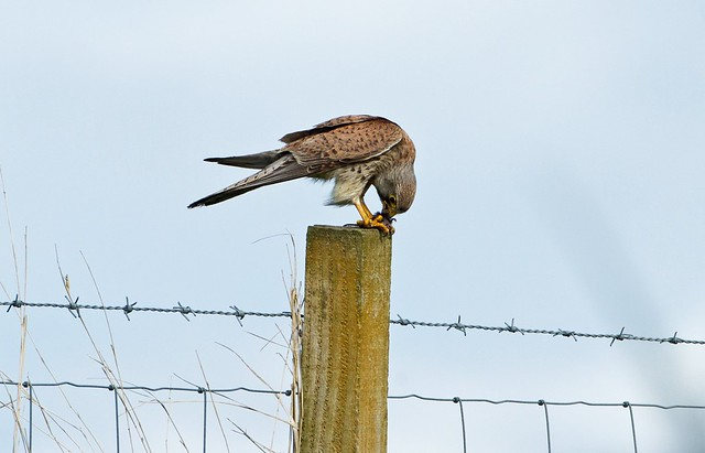 Kestrel with prey, Canon EOS-1D MARK IV, Canon EF 500mm f/4L IS