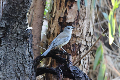 Grey Shrike-thrush, Bolin Bolin Billabong
