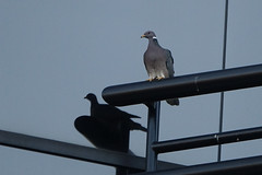 Band-tailed Pigeon - Brea, CA 6-3-17