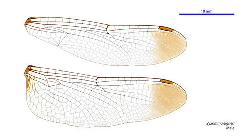 Zyxomma elgneri male wings