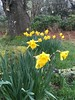 shambellie daffodils