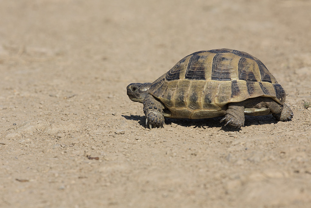 Hermann's Tortoise Testudo hermanni