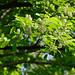 inuzakura_17508a by takao-bw