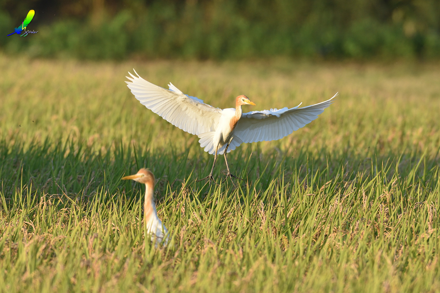 Cattle_Egret_0305