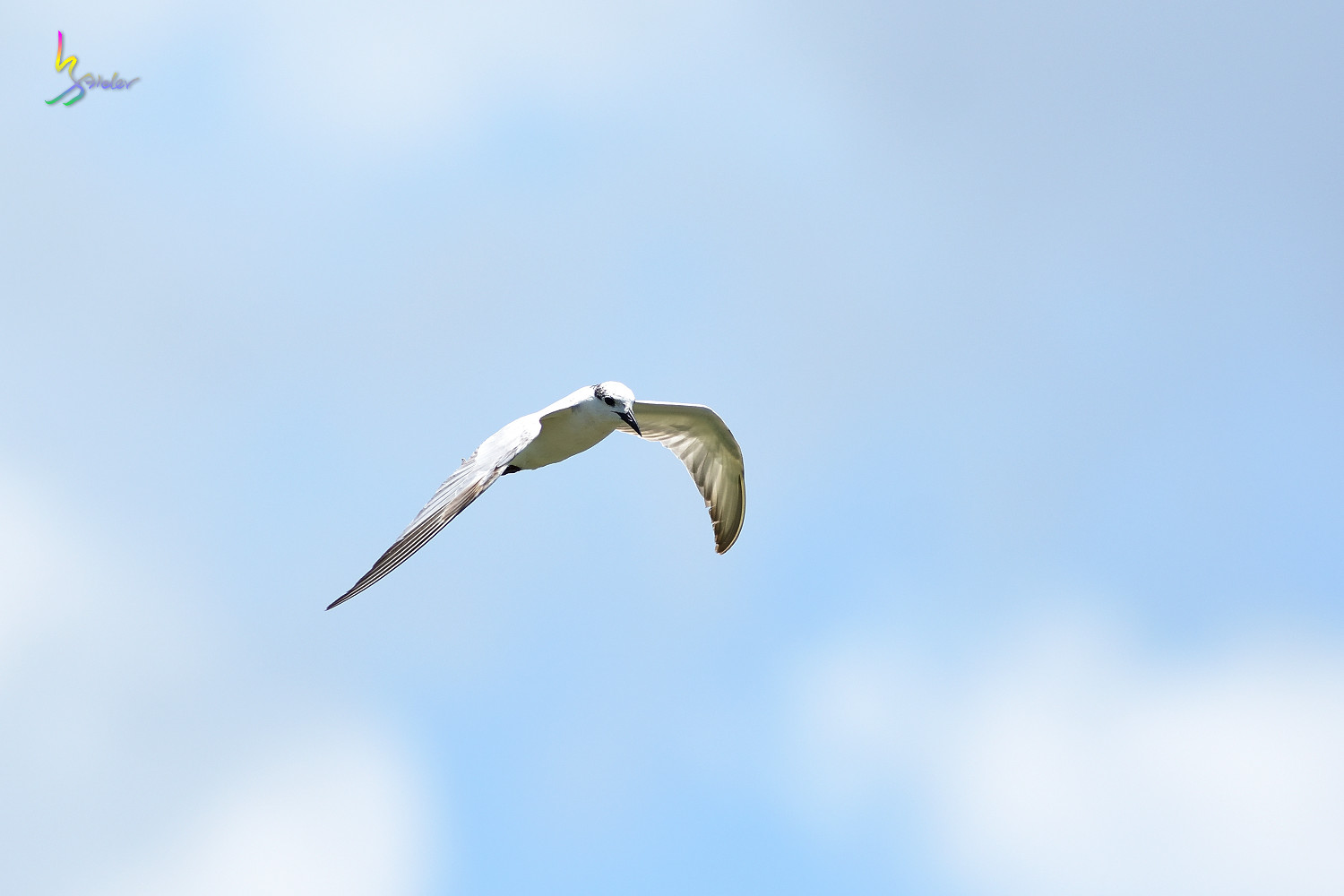 Whiskered_Tern_5093