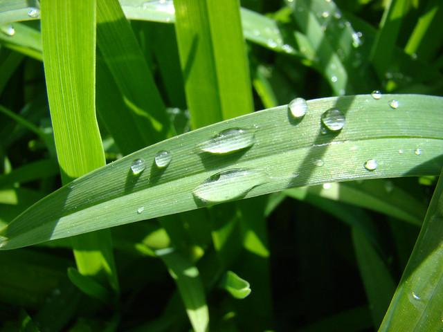 Pluie sur feuilles d'Hemerocale., Sony DSC-H9