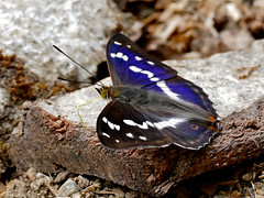 Purple Emperor (Apatura iris) male
