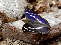 Purple Emperor (Apatura iris) male