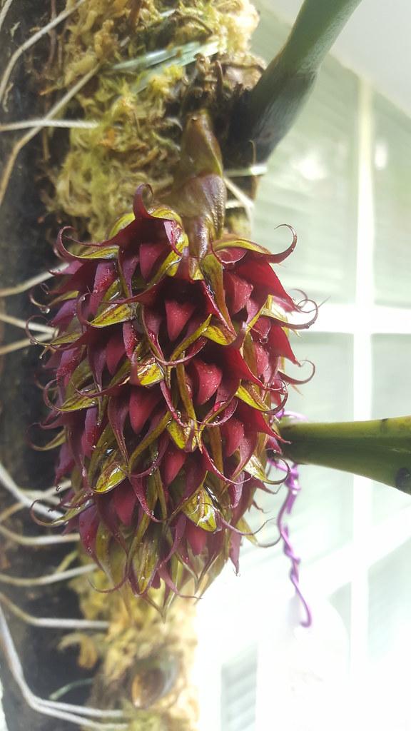 Bulbophyllum decurviscapum