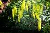 Golden chain tree by halifaxlight