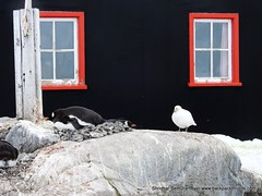 175-Antarctica-Landscapes (2)-Prey and Predator at close quarters