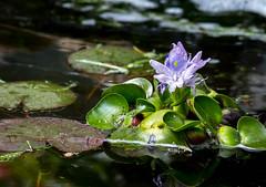 Pond Hyacinth 2