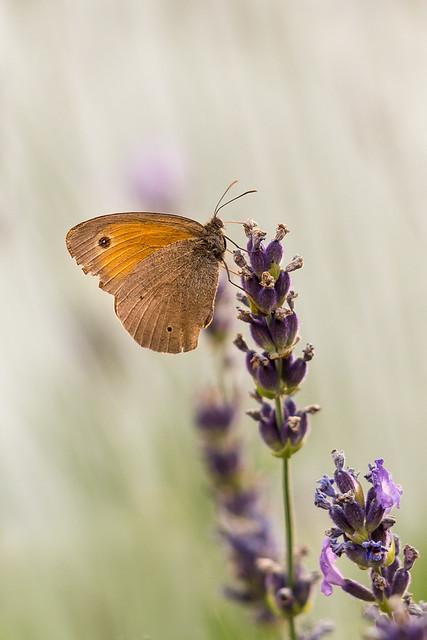 Großes Ochsenauge - meadow brown-5268