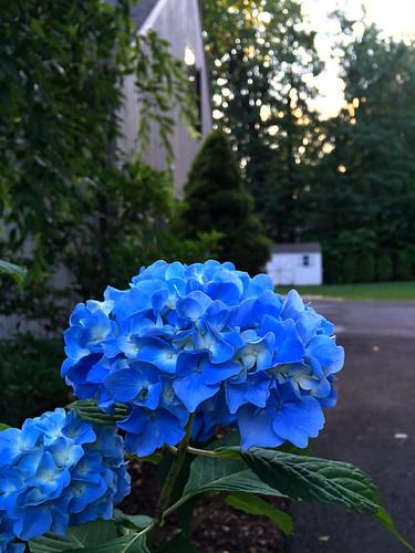 sunset blue flower avon ct usa