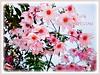 Dahlia imperialis (Tree Dahlia, Bell Tree Dahlia, Imperial/Giant Dahlia)