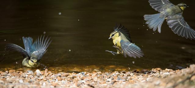 millers-wood-july-2017-bird-bluetits-bathing-4, Nikon D810, Sigma 150-600mm F5-6.3 DG OS HSM | S