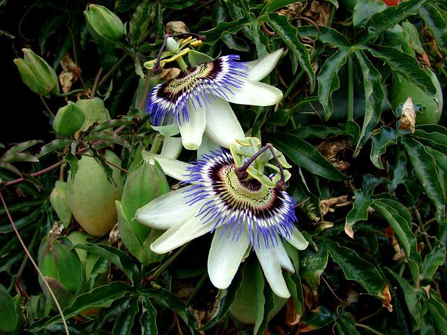 Passiflora sp., Sony DSC-H2