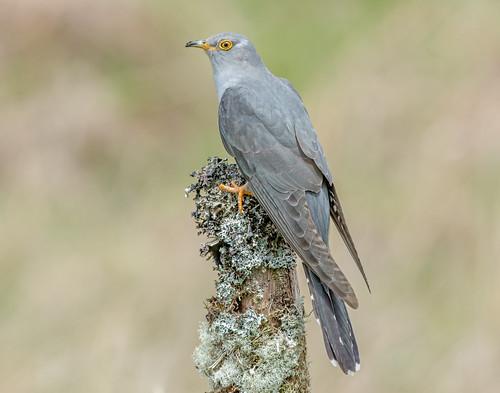 JWL8334  Cuckoo..