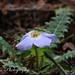 Primula whitei