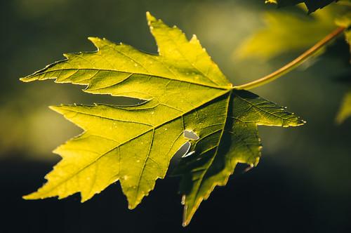 , 160/365- Maple Leaf, My Travels Blog 2020, My Travels Blog 2020