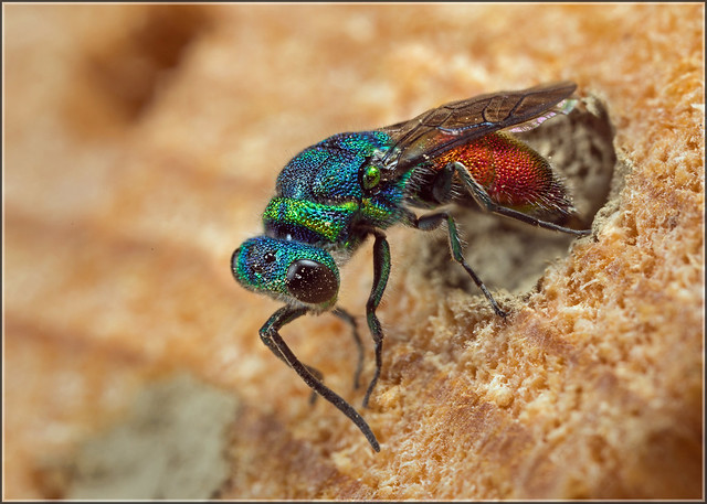 Ruby-tailed Wasp Ovipositing