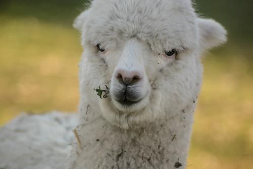 Baby llama II