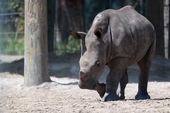 Little Rhino Starting to Run