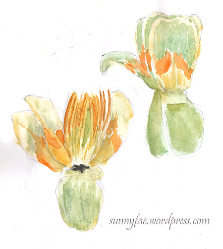 tulip tree flower sketch
