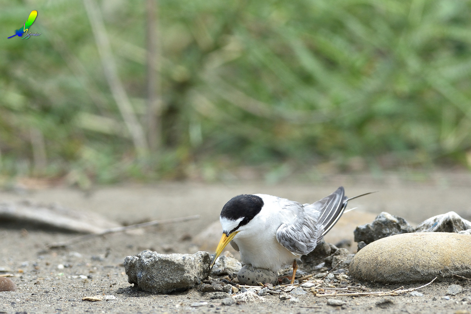 Little_Tern_6247