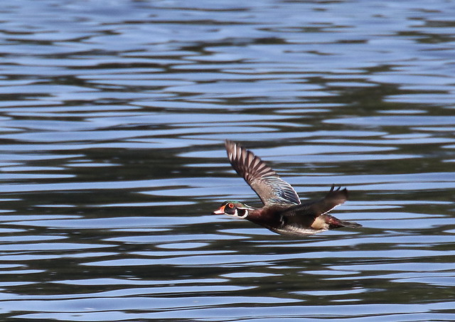 wood duck 00034cc