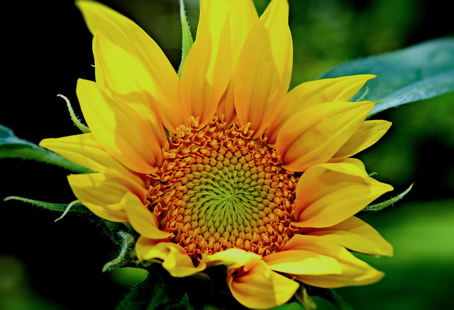 My Sunflower, Canon EOS 7D, Canon EF 28-135mm f/3.5-5.6 IS