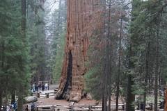 Sequoia (25)