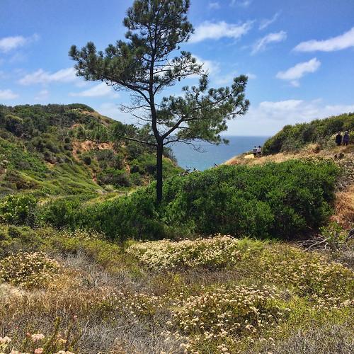 torreypinesreserve torreypines pinetree solitarytree valley ocean landscape