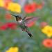 Ruby-throated Hummingbird (Archilochus colubris) Canada 150 # 149 by Don Delaney