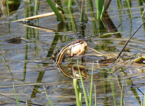 Northern Ribbon Snake eating frog