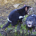 Small photo of Tasmanian Devil spin
