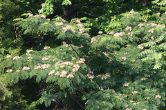 Silktree blooming (Albizia julibrissin), Rt. 4 and Governor Run Road, Broomes Island Quad, Calvert County, MD, 2017_0615
