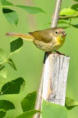 Paruline masqué (femelle) / Common yellowthroat (female)