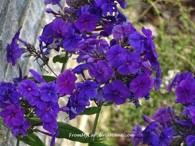 Phlox at From My Carolina Home