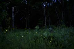 fireflies #1