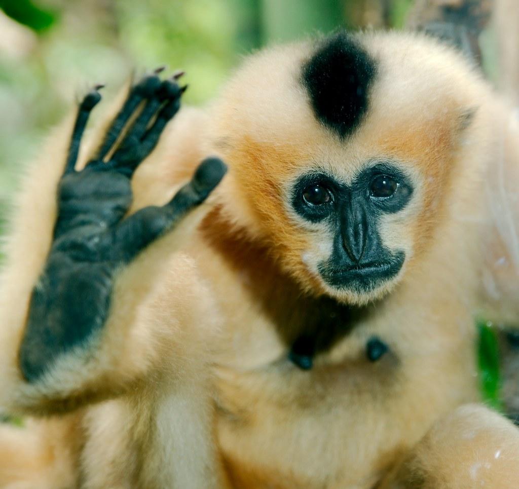Gibbon_5