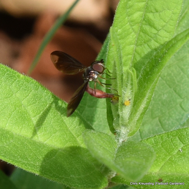 Ocyptamus fuscipennis, syrphid/flower fly, hunting aphids on Asclepias incarnata, swamp milkweed, in my front yard, July 2017