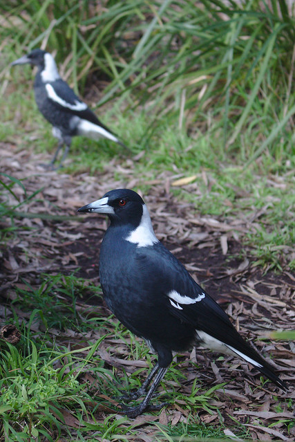 Glossy magpie
