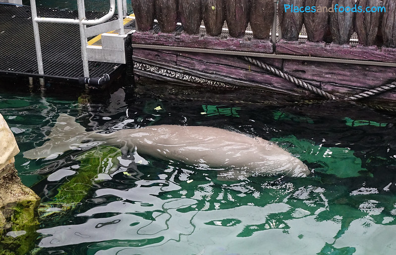 dugong in sydney sea life
