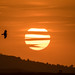 Yellow-billed Kite at Sunset (Tim Melling)