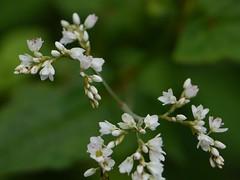 Fagopyrum cymosum (Trevir.) Meisn.