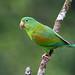 Periquito-de-queixo-laranja / Periquito barbinaranja / Orange-chinned Parakeet