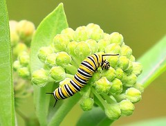 monarch caterpillar eating common milkweed buds at Fish Farm Mounds State Preserve IA 854A4601