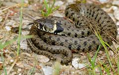 Grass Snake (Natrix helvetica) juvenile (found by Jean NICOLAS) - Photo of Saissac